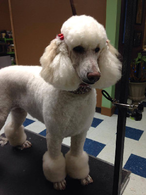 Petopia Dog Grooming, Poodle Summer Clip